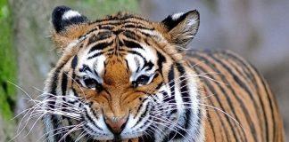 Nằm mơ thấy Hổ điềm gì? Mơ thấy hổ đánh số mấy?