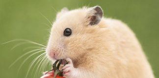 Nằm mơ thấy chuột là điềm báo gì?