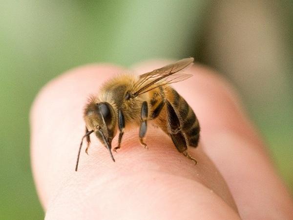 Mơ thấy bị ong đốt có ý nghĩa gì?