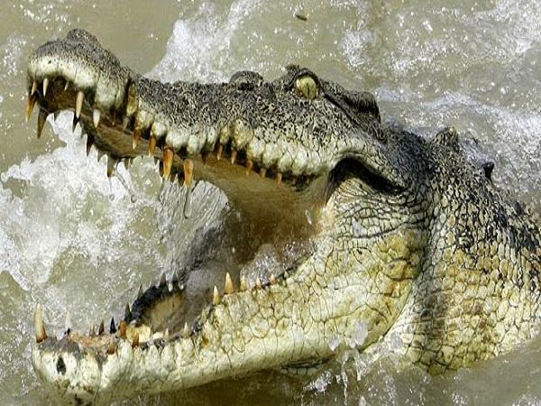 Mơ thấy cá sấu điềm báo gì?
