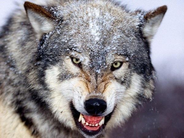 mơ thấy sói điềm báo gì