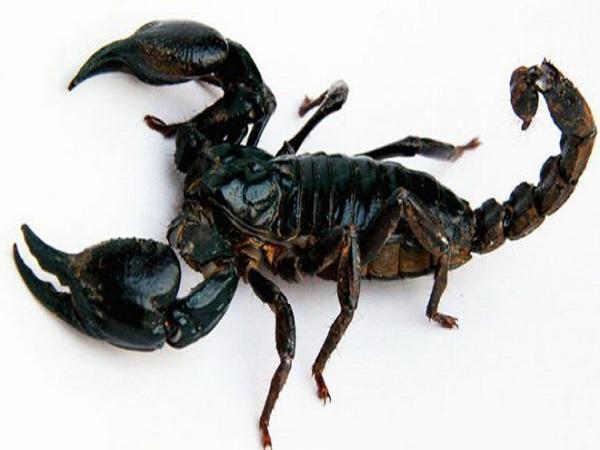 Mơ thấy bọ cạp mang điềm báo gì?