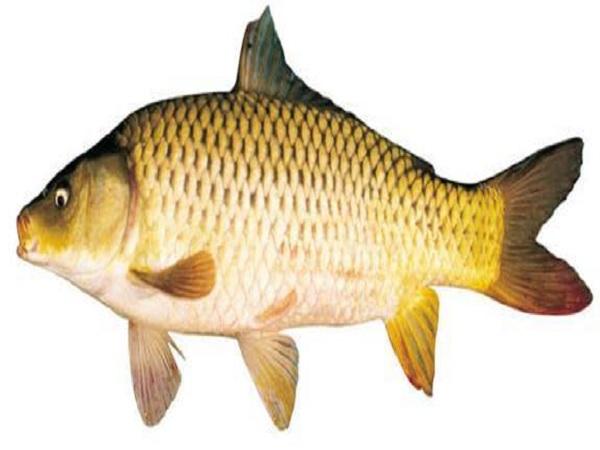 Nằm Mơ thấy cá chép có ý nghĩa gì?