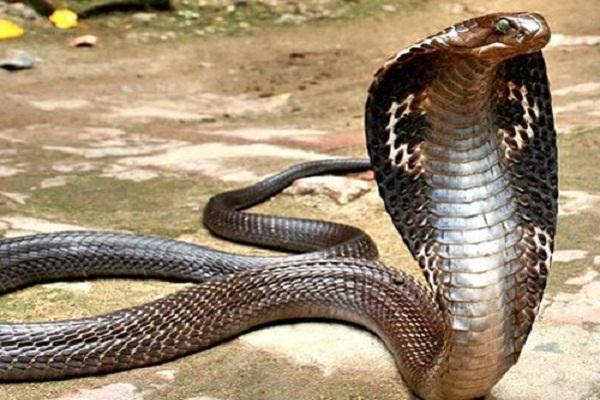 Mơ thấy rắn hổ mang điềm báo gì?