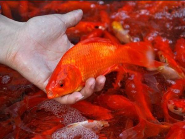 Mơ thấy bắt cá điềm báo gì? Chiêm bao đánh con số gì?