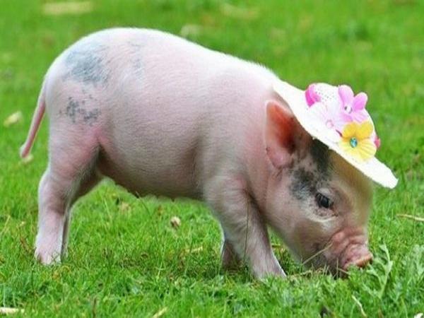 Nằm mơ thấy lợn điềm gì