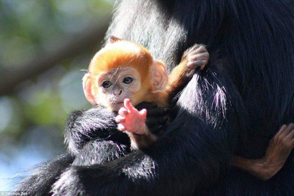 mơ thấy khỉ con