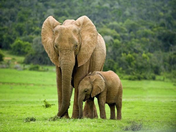 Mơ thấy con voi ý nghĩa gì?