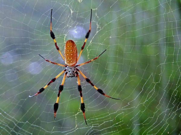 Ngủ mơ thấy nhện có điềm báo gì?