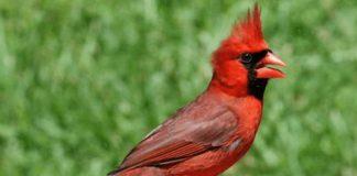 Mơ thấy chim chào mào đánh số gì? Điềm lành hay dữ?